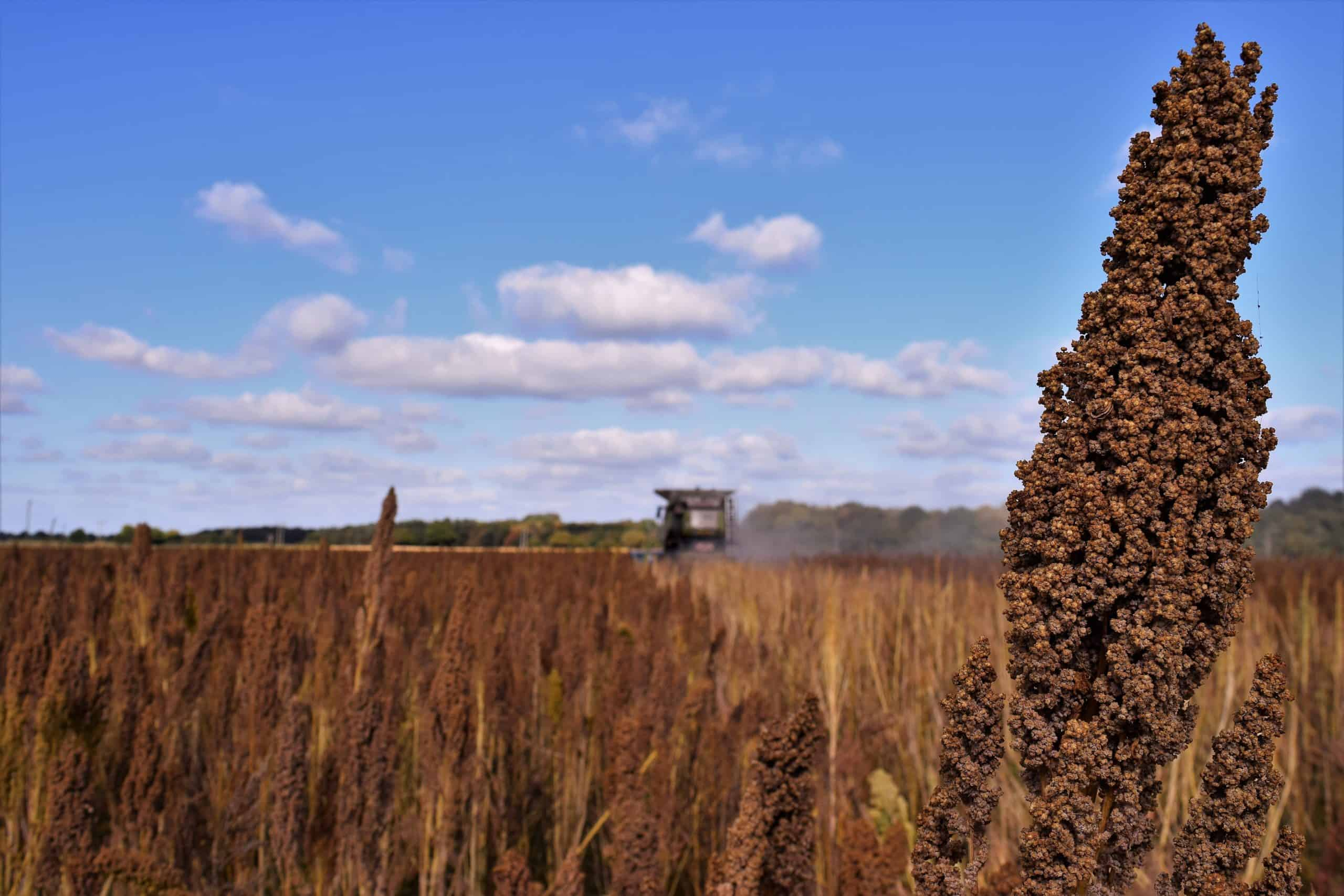 Quinoa Harvest - Ancient Grains and Seeds
